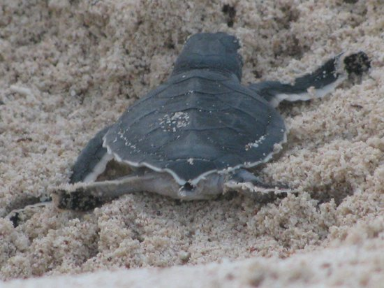 El Dorado Sensimar Riviera Maya:                   Turtle hatchling at beach next door!