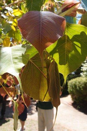 Arderne Gardens:                                     Ficus religiosa