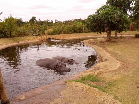 Werribee Open Range Zoo:                   Gorgeous hippos wallowing on the safari tour