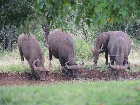 Zebra Hills Safari Lodge:                   Buffalo at the water hole