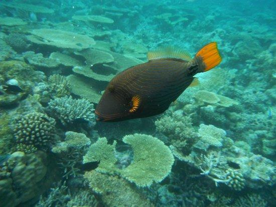 VOI Maayafushi Resort:                   un abitante della barriera corallina                 