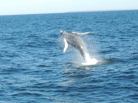 Dolphin Fleet Whale Watch:                   Im Sprung erwischt!