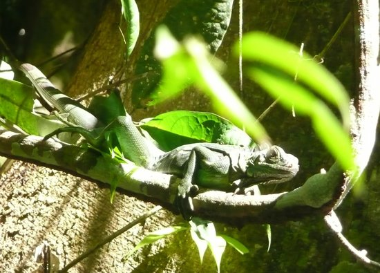 The Lodge and Spa at Pico Bonito :                   Green Iguana from Lagoon Trip