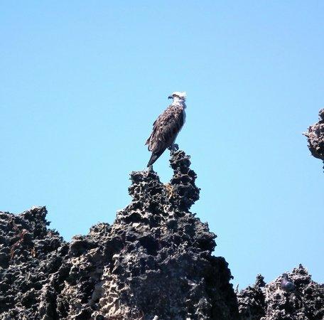 Penguin Island : Bird of prey