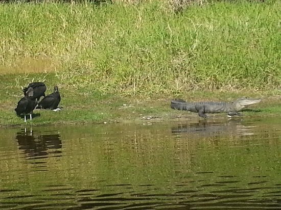 ‪سليب إن ساراسوتا/برادنتون إيربورت:                   Alligators and buzzards at Myakka River state park