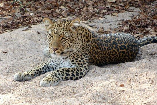 Sanctuary Chichele Presidential Lodge: Junger Leopard