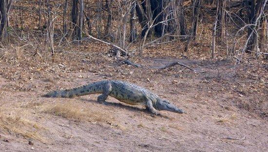 Sanctuary Chichele Presidential Lodge: Krokodil auf allen Vieren