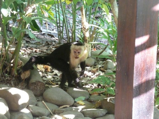 Hotel bungalows SolyLuna los Almendros.:                   Monkey looking for breakfast, just off the porch