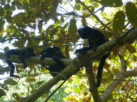 Hotel bungalows SolyLuna los Almendros.:                   Howler Monkeys