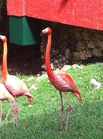 Iberostar Tucan Hotel:                   Flamingos at the resort