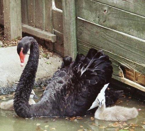 Duffie's Exotic Bird Ranch:                   Black swan and goslings