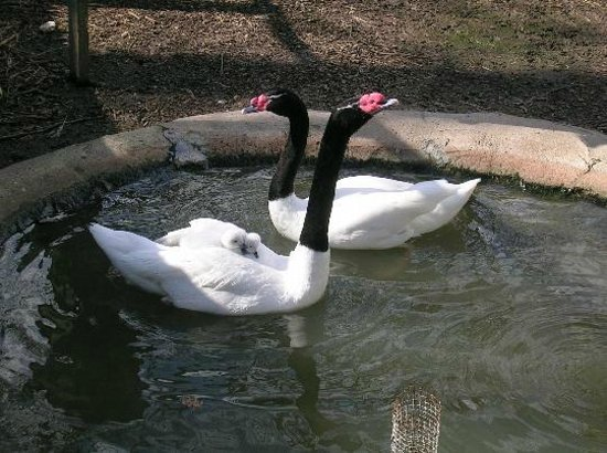 Dunn, Carolina del Norte:                   Black necked swans and babies