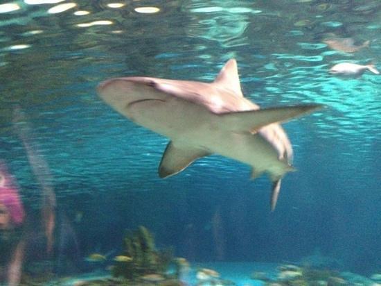 Ripley's Aquarium of the Smokies: shark in tunnel