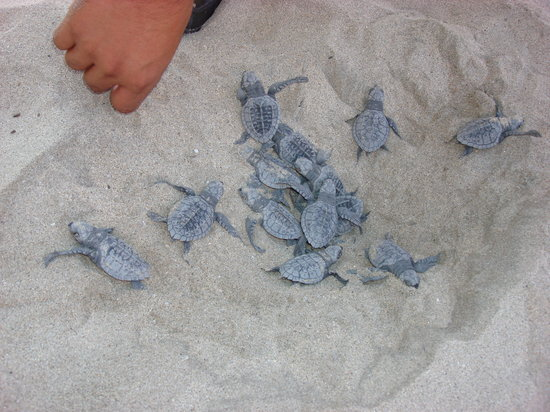Grand Velas Riviera Nayarit: Watched baby turtles hatch!