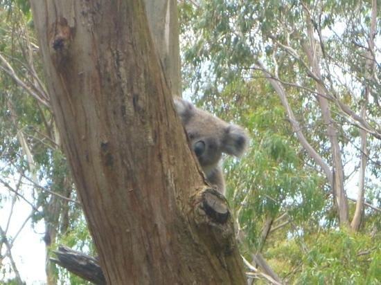 Phillip Island Nature Parks - Koala Conservation Centre:                   Peepo!                 