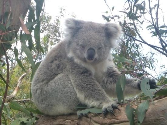 Phillip Island Nature Parks - Koala Conservation Centre:                   sleepy koala