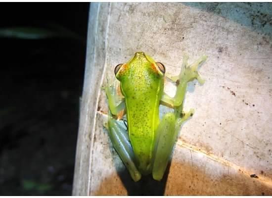 Tortuga Lodge & Gardens: Frog