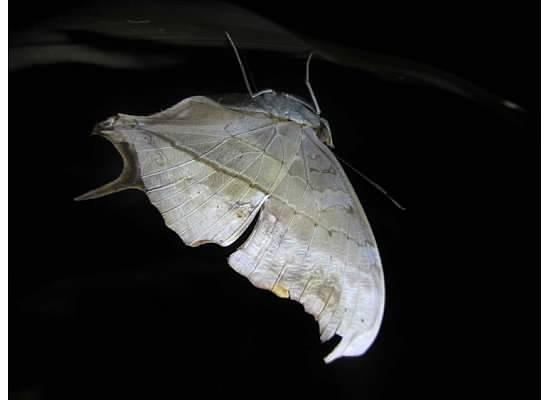 Tortuga Lodge & Gardens: Dead Leaf Moth