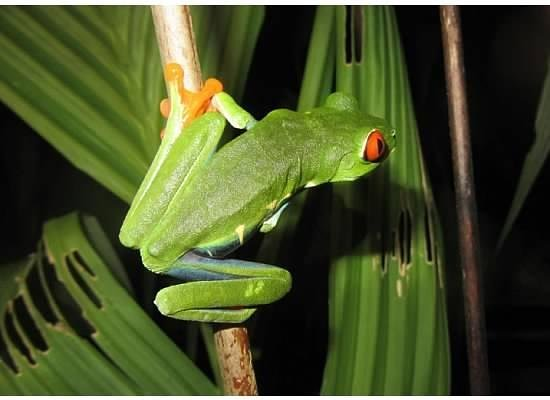 Tortuga Lodge & Gardens: Red Eye Tree Frog