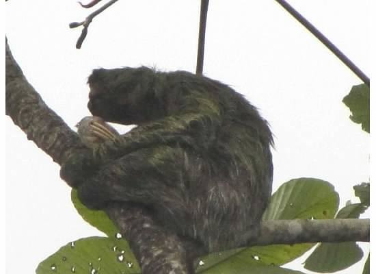 Tortuga Lodge & Gardens: Three Toed Sloth