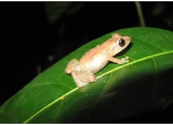Tortuga Lodge & Gardens: Tink Frog