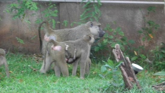 Baobab Beach Resort & Spa:                   baboons at baobab