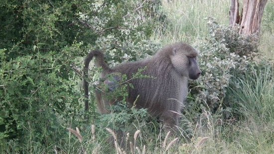The Baobab - Baobab Beach Resort & Spa:                   Baboons in Tsavo