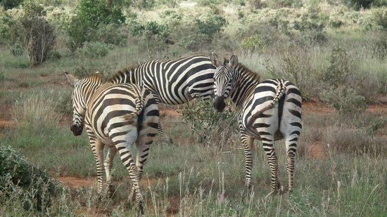 Baobab Beach Resort & Spa:                   heard of zebra in tsavo