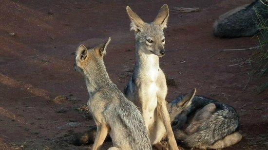 Baobab Beach Resort & Spa:                   a family of jackals in taita hills                 