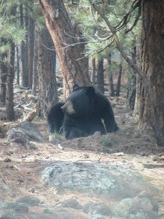 Bearizona Wildlife Park: Bear at Bearizona