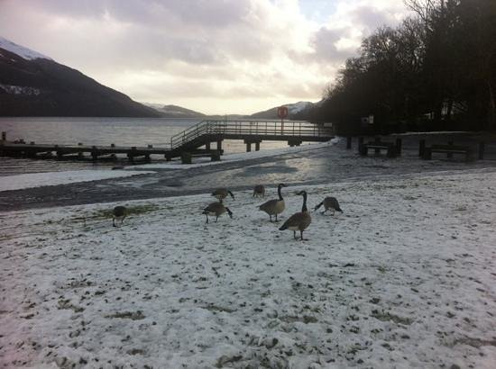 Bay Tarbet Hotel:                   Canadian geese at front of Tarbet hotel beside loch.