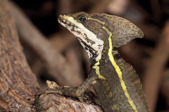 Belizean Shores Resort: Basilisk Lizard near Pool