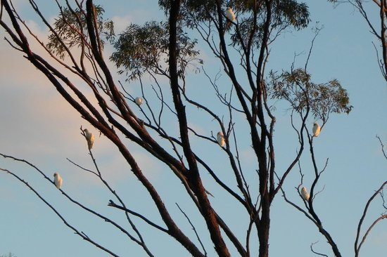 Corrigin, Austrália: A flock of (noisy) white Cockatoos