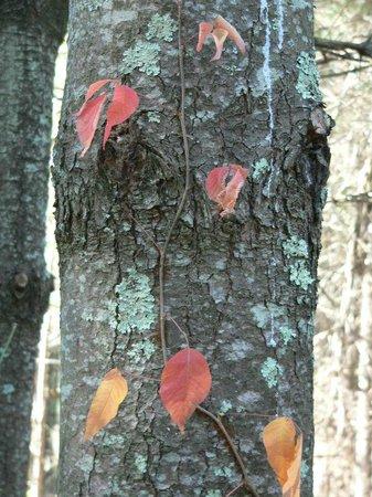 Saunders-Monticello Trail:                   Poison Ivy and Lichen