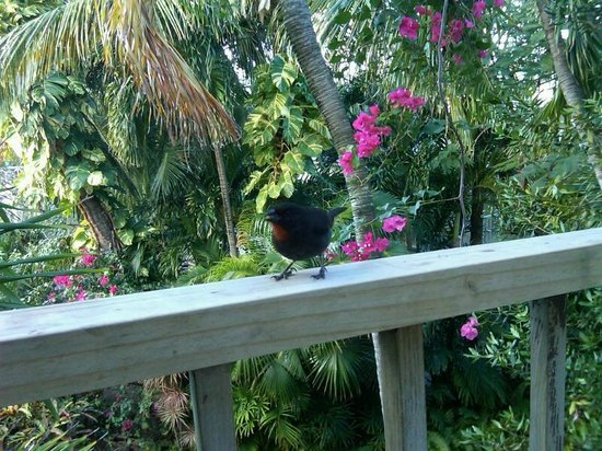 Siboney Beach Club:                   Redbreast visiting our gallery