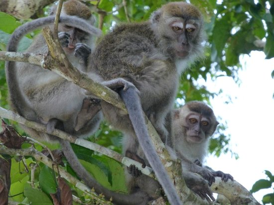 Myne Resort: Monkeys everywhere along the river