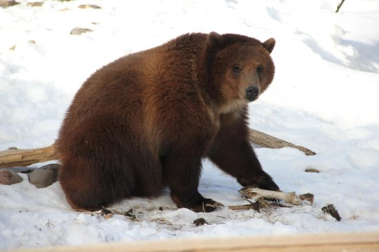 Montana Grizzly Encounter: Jake