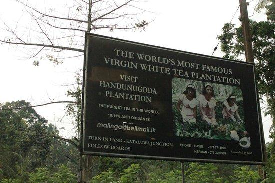 Handunugoda Tea Estate:                   Handunugoda Estate: Virgin White Tea Plantation