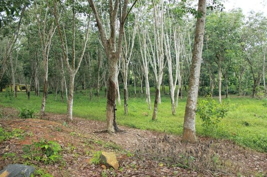 Handunugoda Tea Estate:                   Rubber trees
