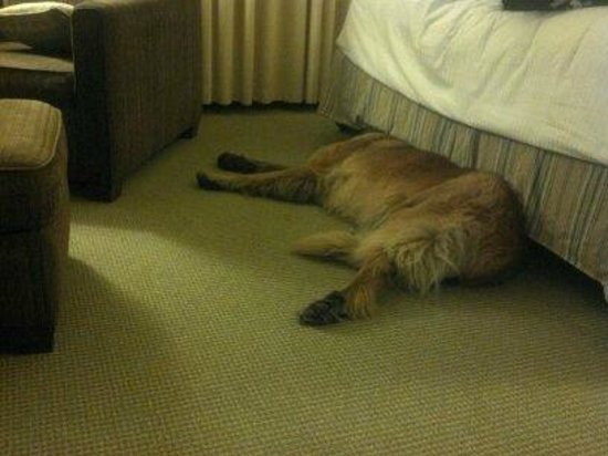 Kimpton RiverPlace Hotel: Female dog (120lbs) exhausted from a big day at the foot of the bed