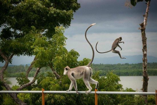 Rekawa, Sri Lanka:                   Affenbesuch