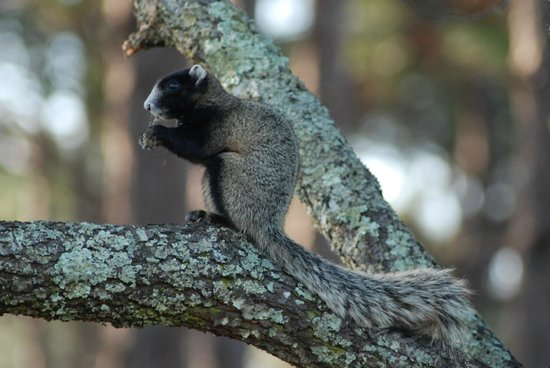 Clermont, Flórida: Fox squirrel at our campground