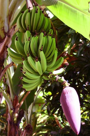 Apartment Espoir:                   Bananas growing in the beautiful garden
