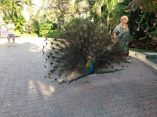 ‪‪Sandals Royal Caribbean Resort and Private Island‬: cool peacocks‬
