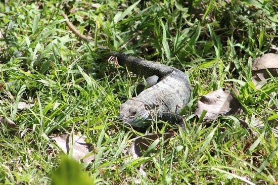 Ostional Turtle Lodge: curious Iguana