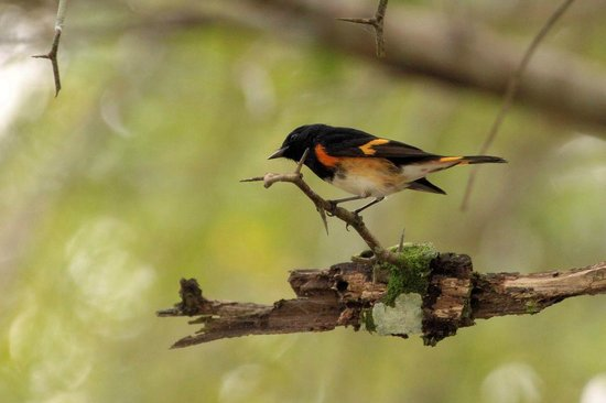 Black Orchid Resort: American Redstart on Black Orchid property