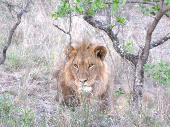 Shiduli Private Game Lodge: lion we saw on our night safari drive