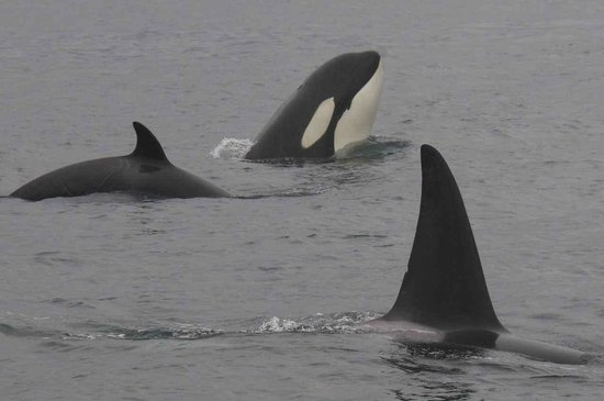 Maya's Legacy Whale Watching : Winter Wildlife with Maya's Westside Charters. More Orcas