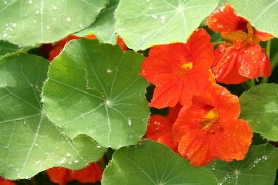 Pilgrim's Inn: Edible nasturtiums from our garden look great on our plates