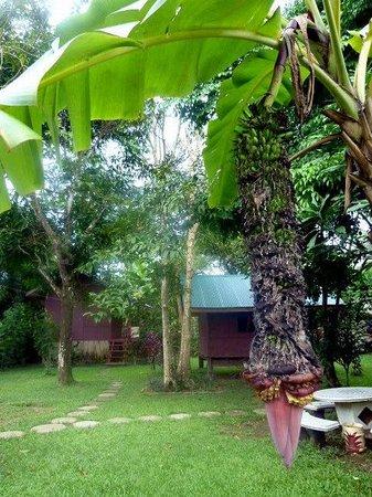 Chez Mango:                   Un bananier dans le jardin